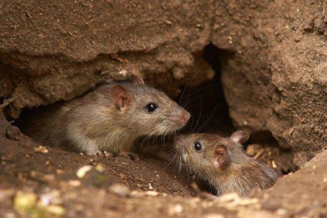 μυοκτονια-ποντικια