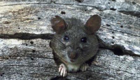 Πως θα απαλλαγείτε από τα ενοχλητικά τρωκτικά - Ποντίκι μέσα από τρύπα ξύλου