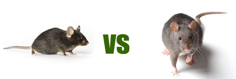 Ποντίκι & Αρουραίος διαφορές
